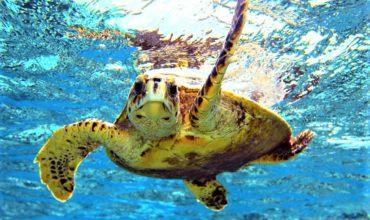 Local Guys Caretta Caretta Turtles